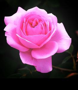 Photo d'une rose illustrant un degré de vision parfait